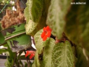 Bunga merah kecil, apakah namanya?