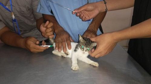 mengobati kucing diare